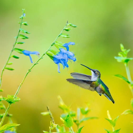 Hummingbird Season In Texas Usa Today