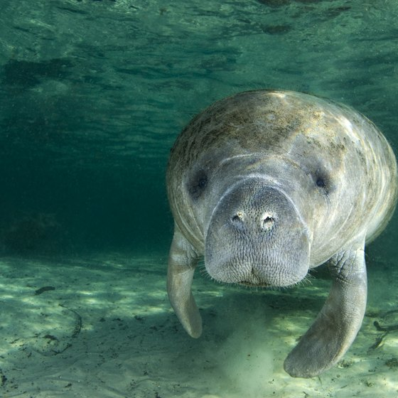Swimming With Manatees Near Clearwater