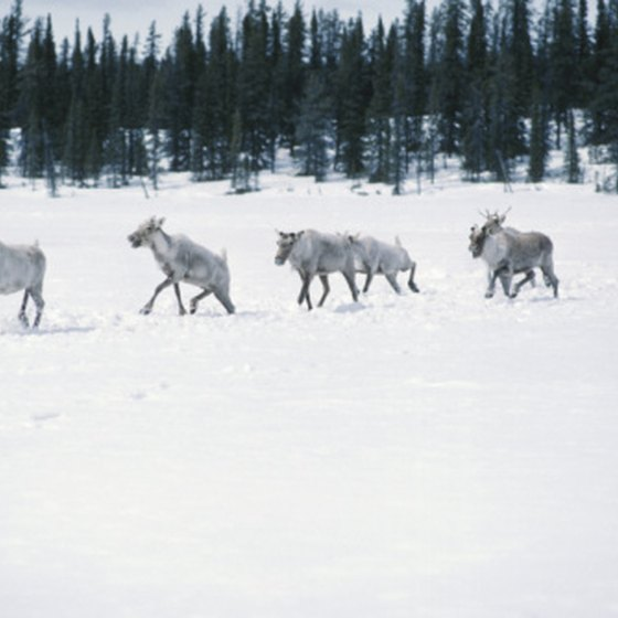 Cairbou are some of the best-known residents of Canada's tundra.