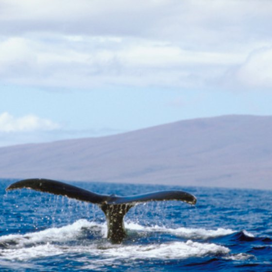 Northern humpback whales annually migrate to Hawaii to mate and calve.