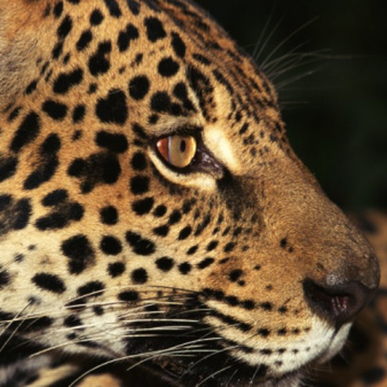 The jaguar is one of five wildcats found in Belize's rainforest.