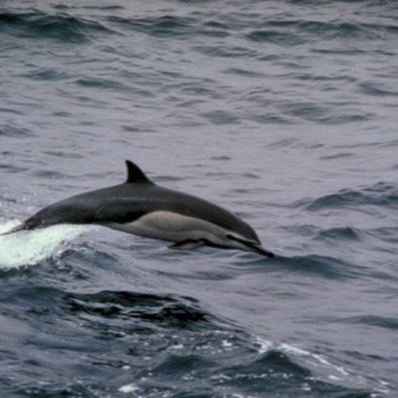 Swimming with dolphins is believed to be very therapeutic.