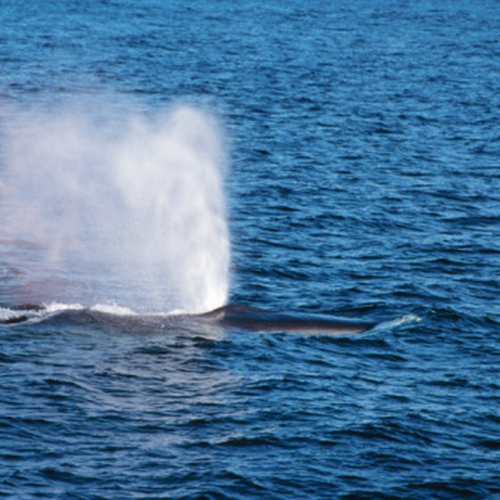 At certain times of year, whale-watching tours from Santa Barbara can virtually guarantee sightings.