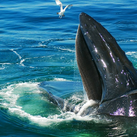Whale Watching in Virginia Beach