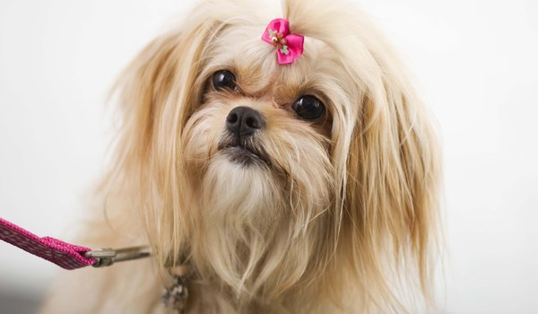Maltese Pekingese Mix Information