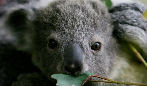 Information on the Reproductive System of a Koala Bear