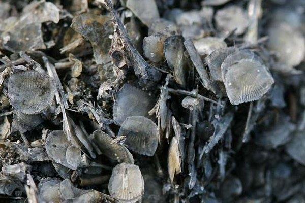 Escamas de pez debajo de un microscopio.