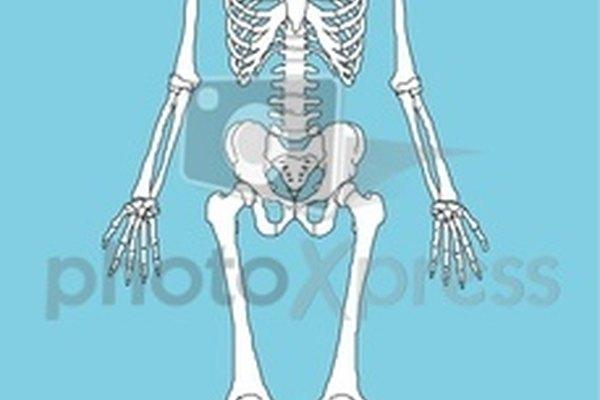 El sistema óseo humano.