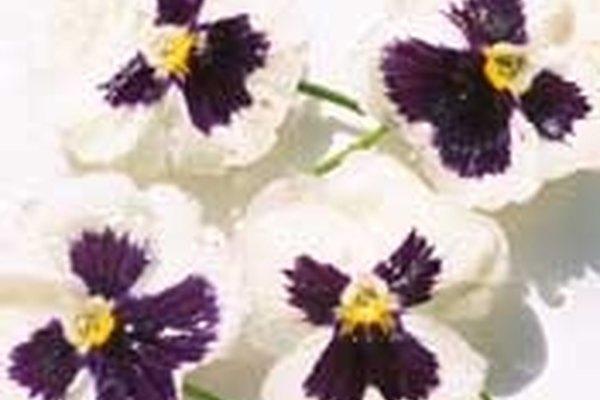 Conserva flores con glicerina.