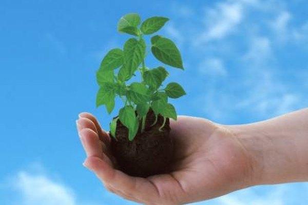 Mediante la fotosíntesis la planta crea una sustancia química que puede utilizar como alimento para crear energía.