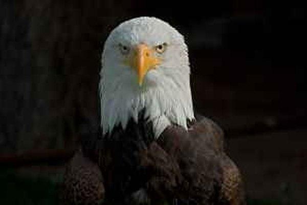Las aves rapaces son el águila, el halcón, el buitre y el búho.