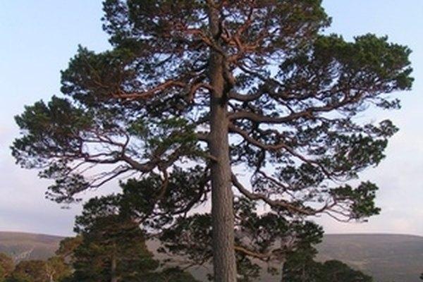 Usa un clinómetro para saber la altura de un árbol.