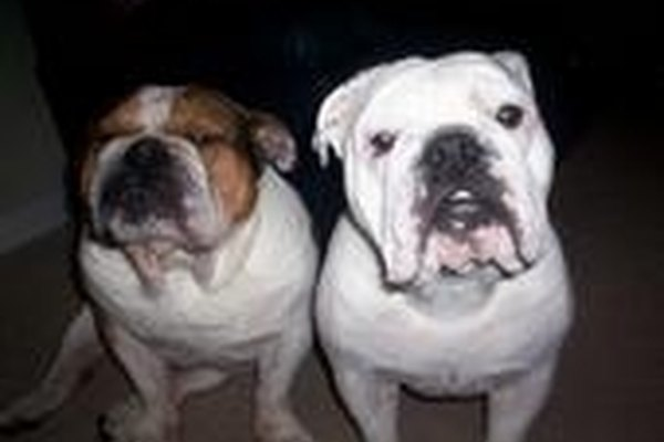 How to Find an English Bulldog Puppy For Sale without