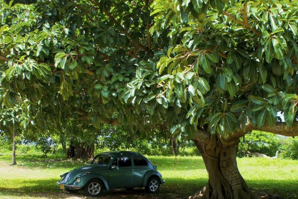 VW Beetle parked under tree