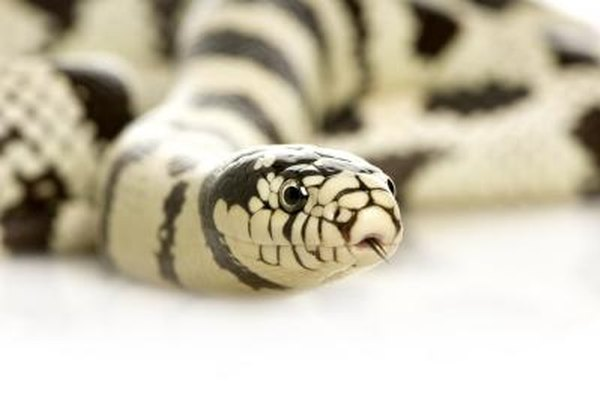 What Kind of Snake Is Black & White? | Animals - mom me