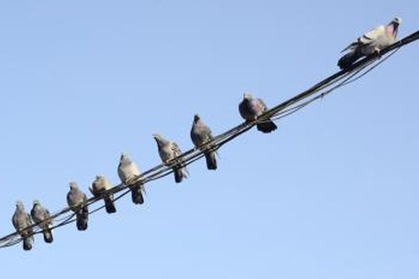 Pigeons resting on a wire