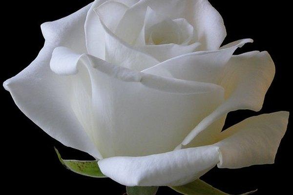 Las flores blancas son un regalo tradicional.