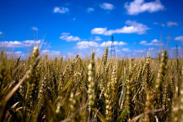 El trigo se cultiva desde hace miles de años.