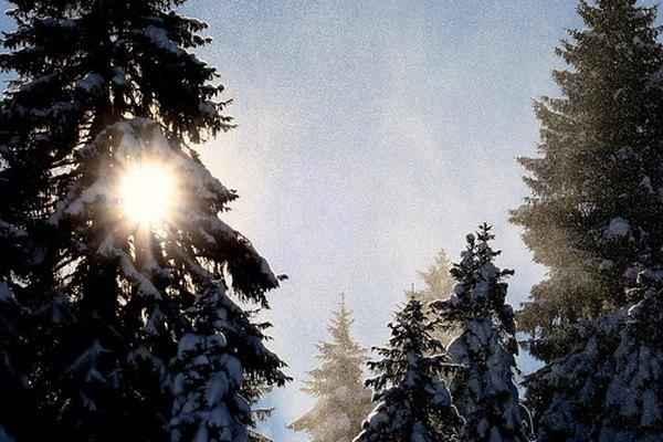 Los árboles de pino mantienen sus agujas y pueden realizar la fotosíntesis durante el año.