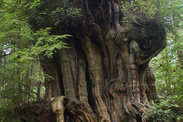Los árboles sicómoro pueden crecer hasta 100 pies (30,48 m) de alto.