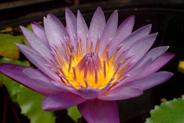 La flor de loto.