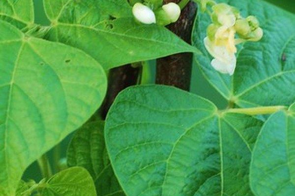 Las semillas de frijol necesitan temperaturas cálidas para crecer y convertirse en plantas.