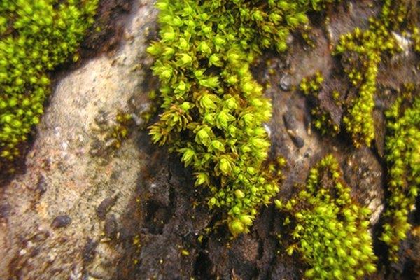 El color verde musgo aparece en la naturaleza como un tono de verde amarillento opaco.