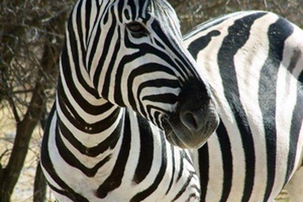La hermosa cebra blanca y negra es un conocido animal blanco y negro.