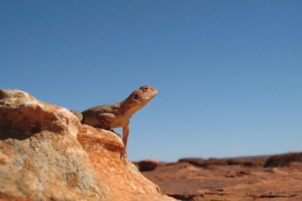 Los lagartos viven en los desiertos australianos.