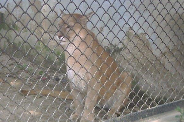 Puma en cautiverio.