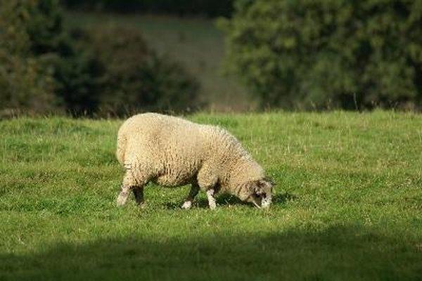 Los animales kosher son rumiantes de tierra y tienen pezuñas hendidas.