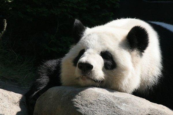 Los pandas son osos grandes blancos y negros que se encuentran en Asia.
