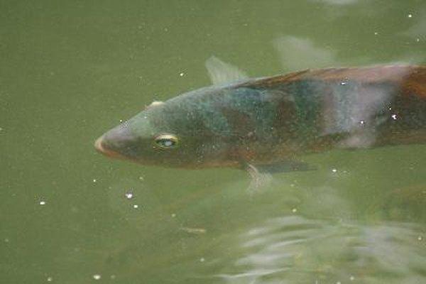 Puede determinarse el sexo de la tilapia examinando el área de la papila y los órganos reproductivos en la parte inferior del pez.