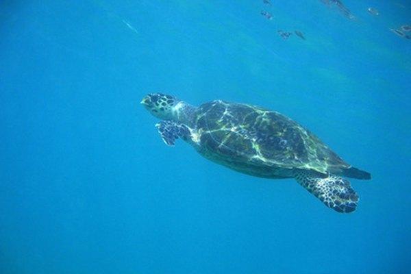 Las tortugas de mar ganaron fama en la película de Disney