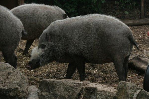 Florida tiene una gran población de cerdos salvajes.