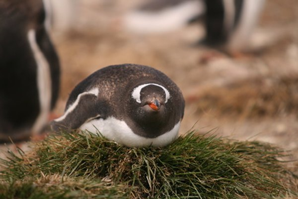 Los pingüinos son famosos por su colores que se asemejan a un esmoquin.