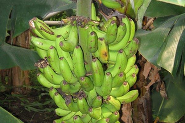 Crea papel con una planta de banano.