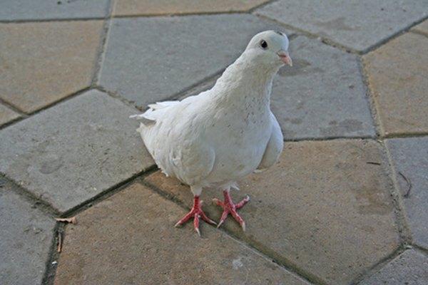 Las palomas blancas son un símbolo de gozo.
