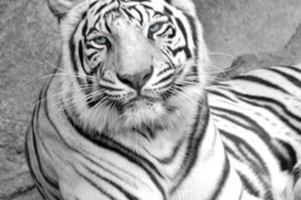 El tigre blanco es un animal majestuoso con colores blanco y negro.