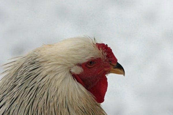 Las Brahmas son una de las razas más grandes de gallinas.