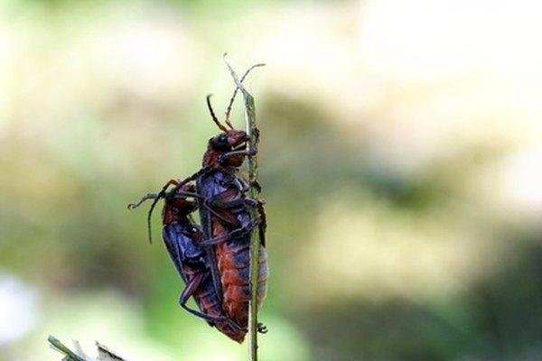 Los escarabajos son los animales más abundantes del planeta.