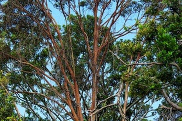 La capa emergente consiste de los árboles más altos del bosque tropical.