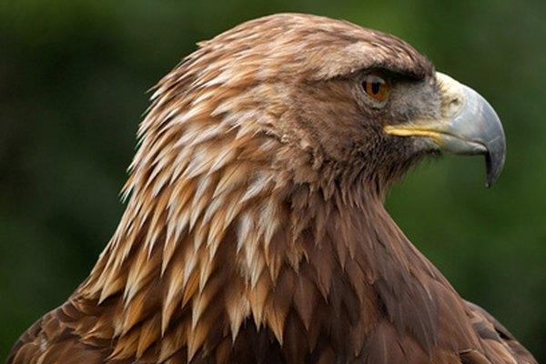 La noble y severa águila dorada es una de las aves de presa más grandes.