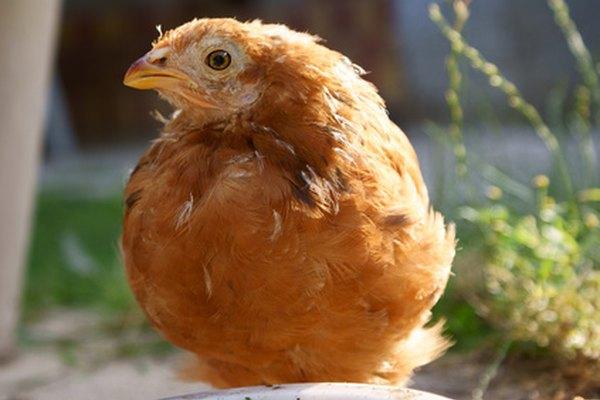 Esta joven polla colorada de New Hampshire tiene aproximadamente ocho semanas de edad.