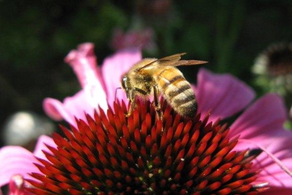 Una abeja melífera tiene una adaptación estructural de cuerpo negro con rayas amarillas.