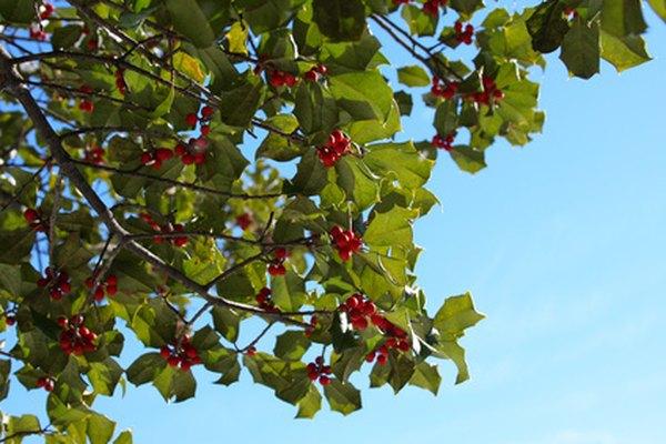 Los acebos son dioicos, por lo que necesitas un árbol macho y uno hembra candidato para producir bayas.