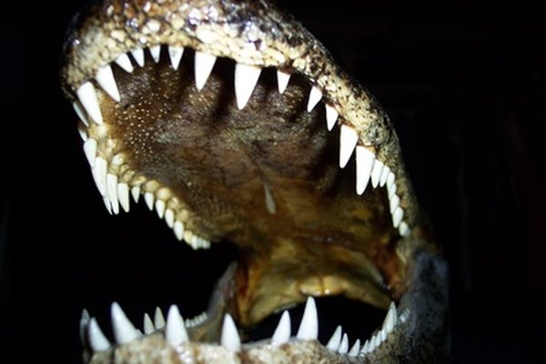 La otra especie de lagarto es el lagarto chino.