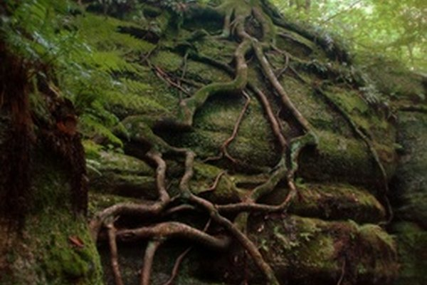 Las raíces pueden destruír una roca.