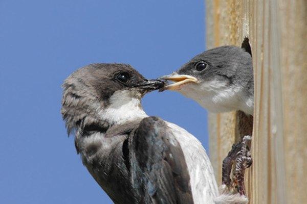 Algunos padres se pasan todo el día alimentando a los jóvenes antes de que se desarrolle su plumaje.
