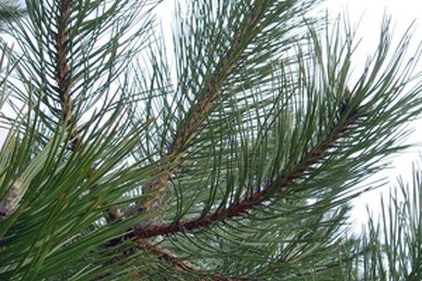 Los pinos son importantes para humanos y animales.